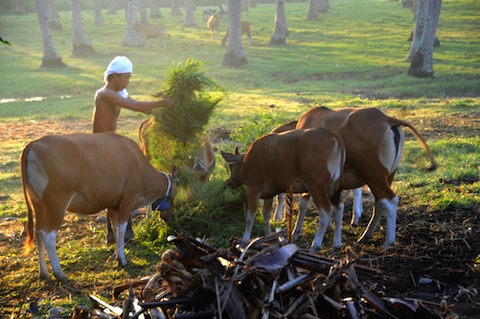 Feeding_the_Banteng_medium