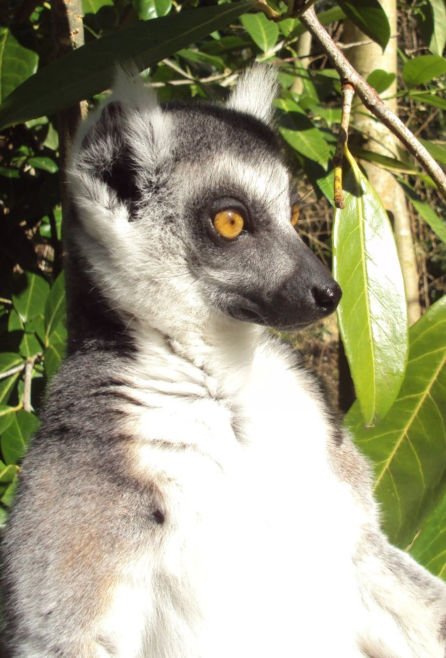 lemur sunning himself